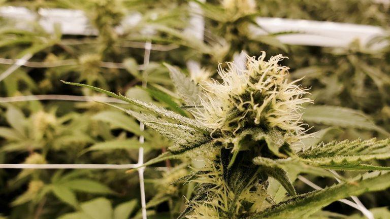 TechforCann: l'acceleratore europeo per la cannabis a Malta